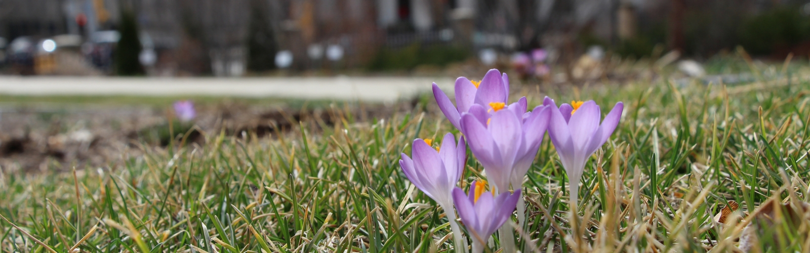 grassy field with two purple flowers starting to grow